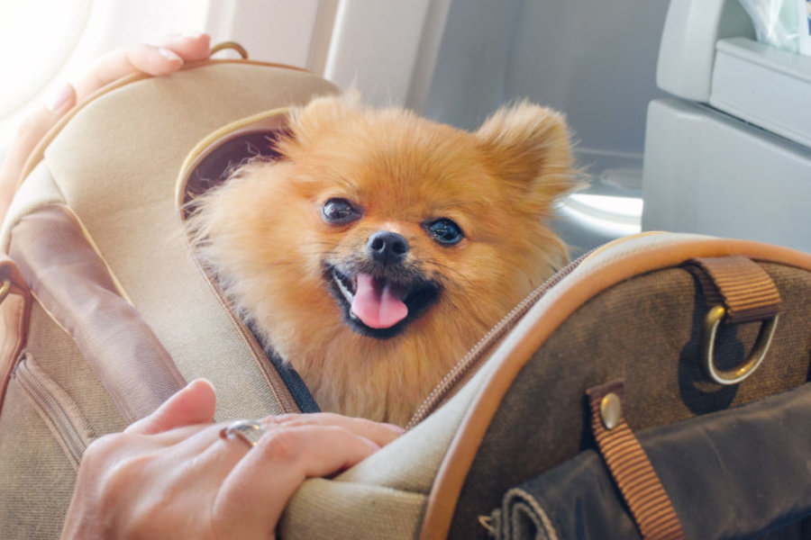 pomeranian-travel