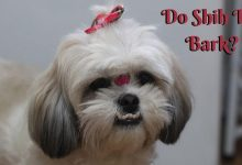 Do Shih Tzu Bark_