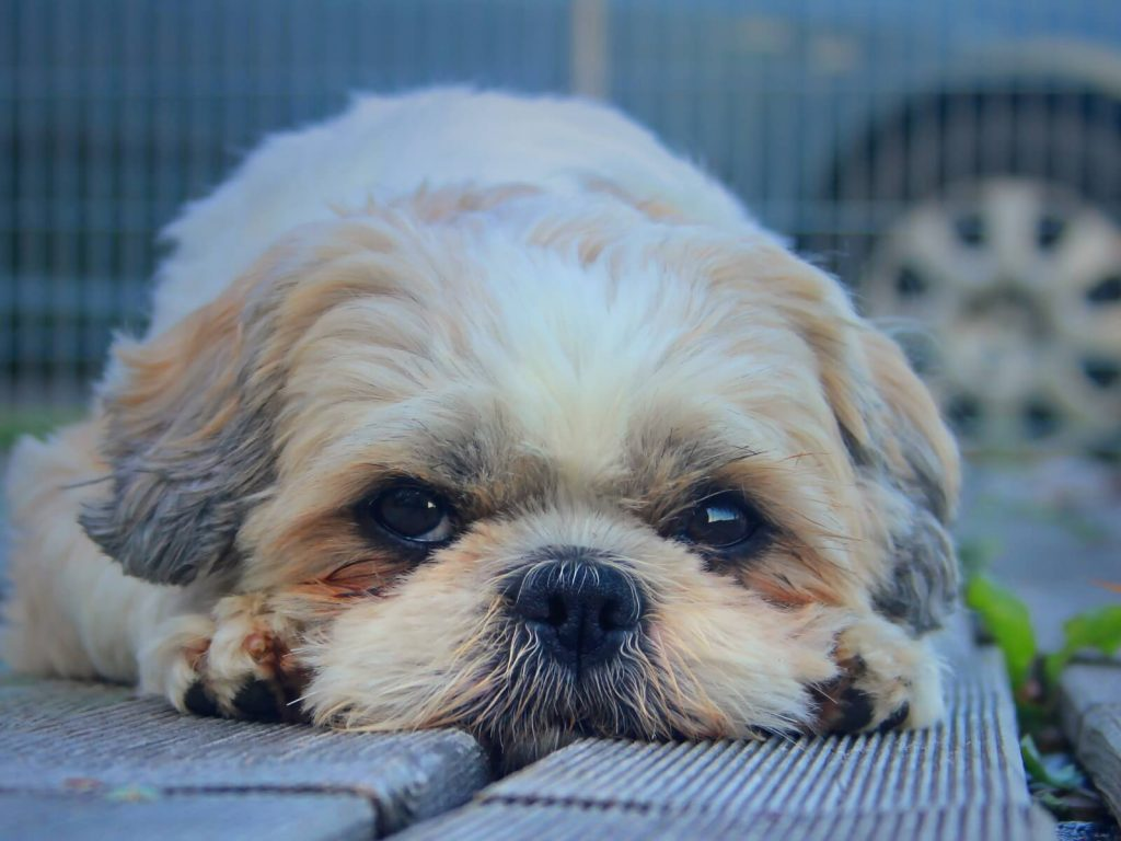 shih_tzu_dog_muzzle_look_furry_110074_1600x1200