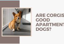 Are Corgis good apartment dogs