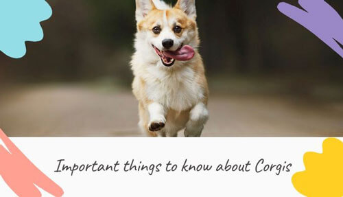Important things about Corgis