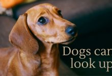 Dogs can't look up