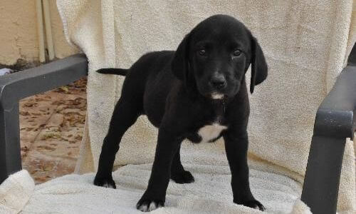 why you should have Plott Hound Lab Mix